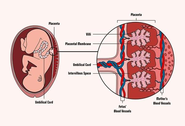 गर्भावस्था में दवाओं के प्रतिकूल प्रभाव क्या होते हैं ?